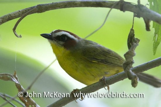 Bird Coiba - Birding Tours: Rufus Capped Warbler