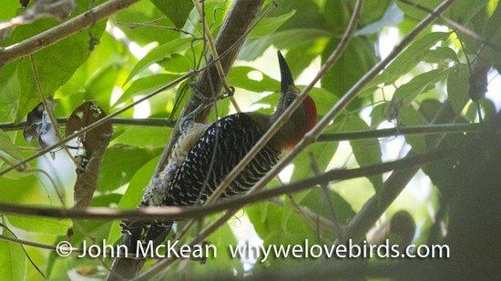 Bird Coiba - Birding Tours: Red Crowned Woodpecker