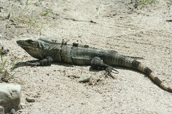 Florblanca Resort : One of the many reptiles at the resort