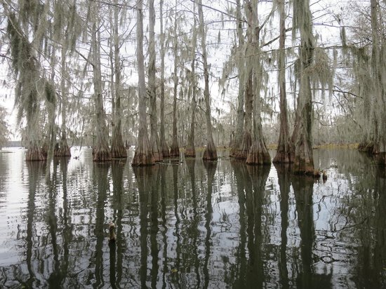Cajun Country Swamp Tours : Cypress trees