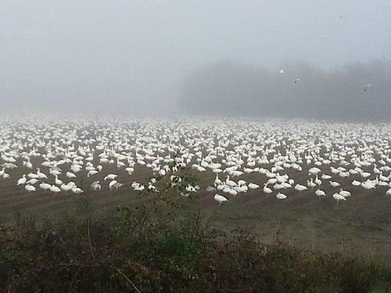 George C. Reifel Migratory Bird Sanctuary : Snow Geese
