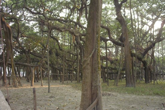 Great Banyan Tree,Indian Botanic Garden,Shibpur,Howrah.
