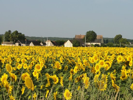 LoireLife a Gue de Ray : Sunflower fields