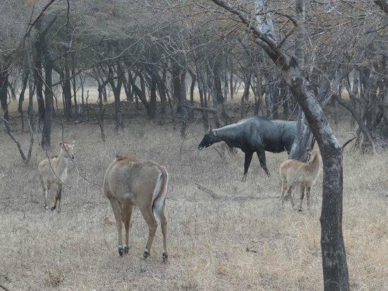 Ranthambore National Park: deer herd