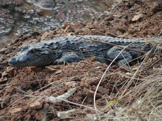 Ranthambore National Park: sun bathing croc