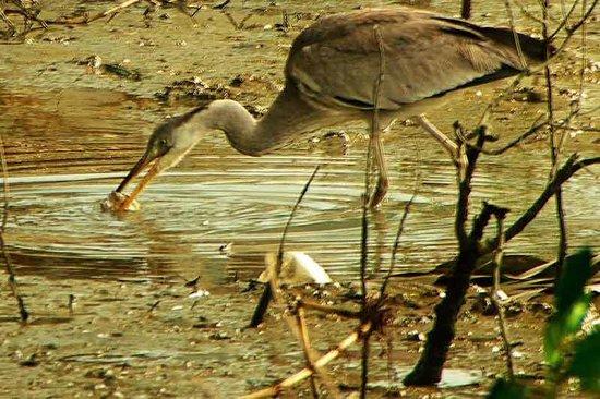 Manko Park : Grey Heron