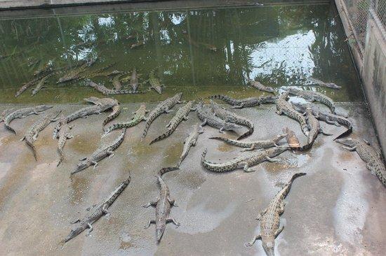 Crocodylus Park : crocs