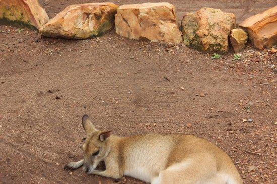 Crocodylus Park : wallaby