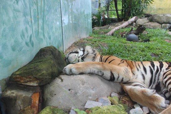Crocodylus Park : tiger