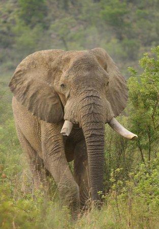 Khakiweed Photographic Safaris: Pilanesberg bull ele