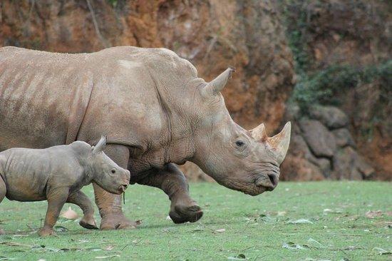 Cabarceno Nature Park: una cria rinoceronte con su madre, recien nacida es como un mini clon.