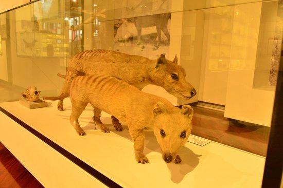 Queen Victoria Museum & Art Gallery: Tazzie Tigers