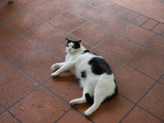 Byron Sunseeker Motel Byron Bay: Fat cat that hangs around the BBQ all day and you can see why