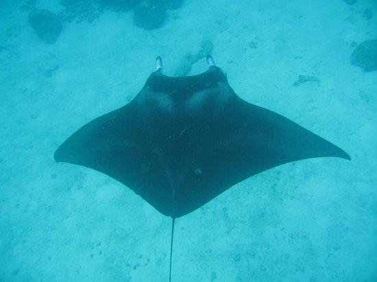 Vakarufalhi Island Resort: We struck lucky on the Manta Snorkel trip