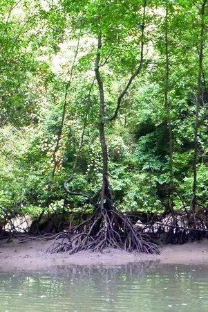 Krabi Kayak: Mangrove tree