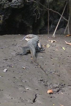 Krabi Kayak: Monitor lizard