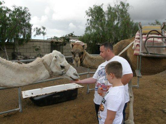 Camel Park: feeding the camels