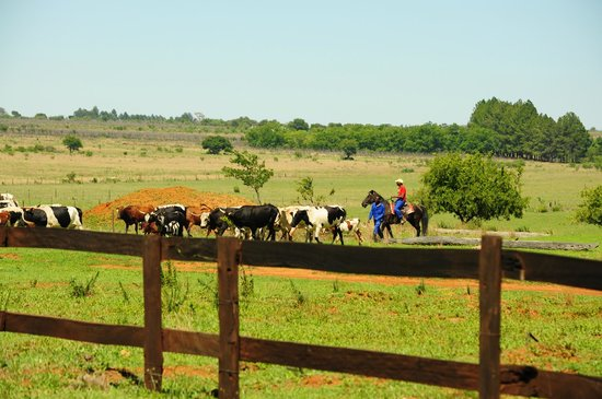 Thaba Manzi Ranch: cows coming back home:)