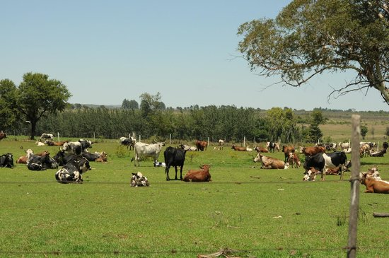 Thaba Manzi Ranch: the cows at the farm