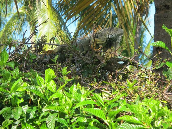 Tranquility Bay Beach House Resort : Iguana high up on the bush