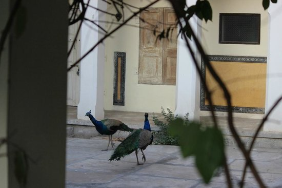 Naila Bagh Palace: Wild Peacocks in the back Courtyard