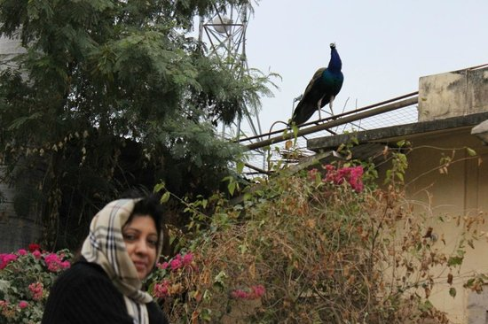 Naila Bagh Palace: A Peacock in the early morning chill (Wife in Pic)