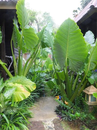 Lanta Castaway Beach Resort : giantleaf plants infront of the bungalows