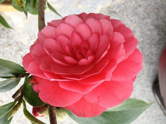 Arundina Cameron Highlands: Camellia flower in the garden