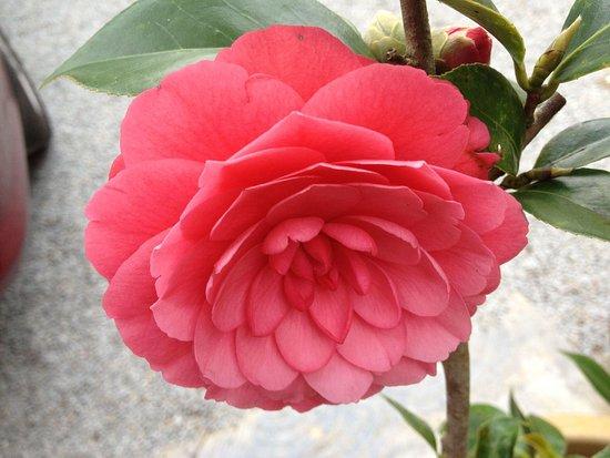 Arundina Cameron Highlands : Camellia flower in the garden