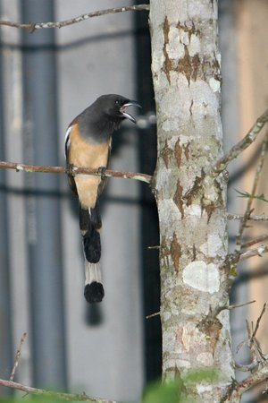 Wild Corridor Resort and Spa by Apodis: sighted Rufous Treepie at room balcony