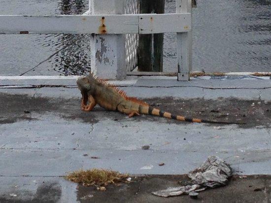 Coconuts: Iguana next door