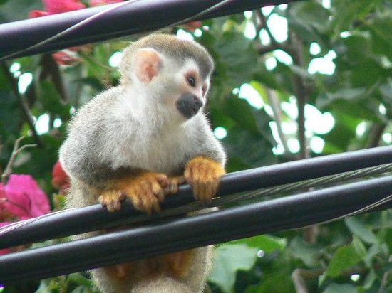 Go Tours Costa Rica - Day Tours: Squirrel monkey in Manuel Antonio