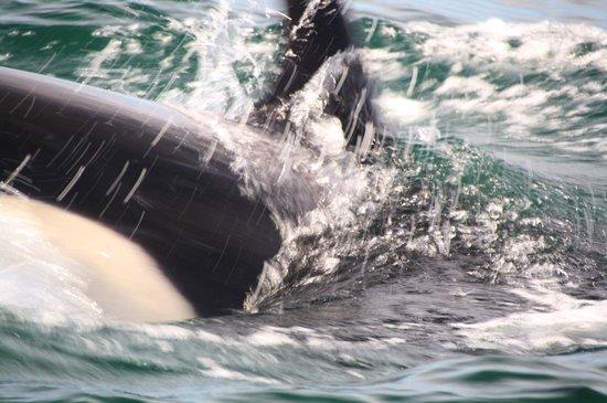 Orca Spirit Adventures : Orca