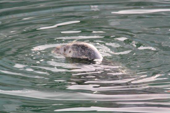 Orca Spirit Adventures: Seehund - im Hafen