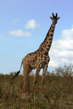 Tropical Adventure Safaris - Day Tours: the elegant giraffe