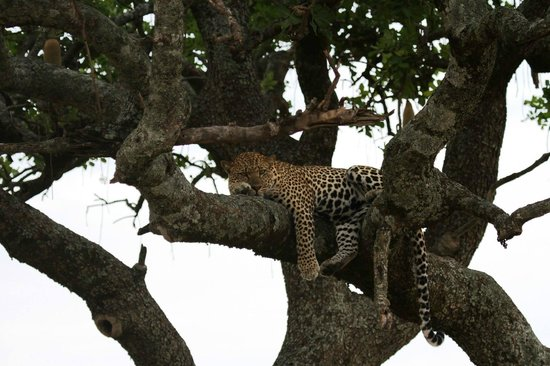 Tropical Adventure Safaris - Day Tours: Elusive leopard, just before we left we came across him