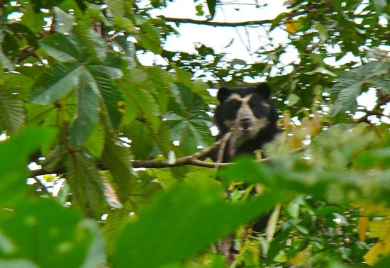 Maquipucuna Reserve & Ecolodge: the rare spectacled bear