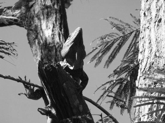 Tangeri Hotel : Las iguanas pueden observarse en todo lado