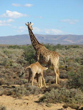 Inverdoorn Game Reserve: safari