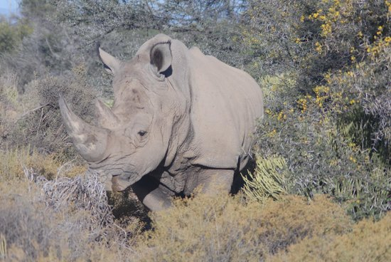 Inverdoorn Game Reserve: Rhino