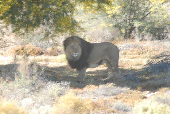 Inverdoorn Game Reserve : Lions