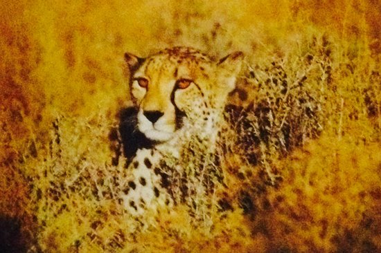 Inverdoorn Game Reserve : Cheeta