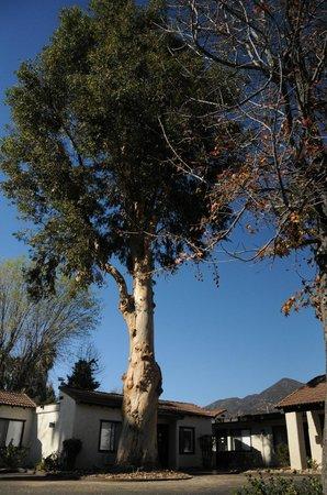 Hummingbird Inn: Huge tree