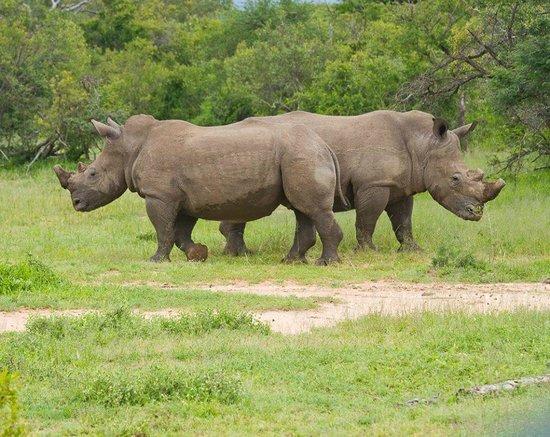 The Vuyani Safari Lodge : Rhinos