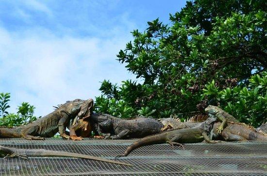 Media Luna Resort & Spa: Visite d'une ferme d'iguanes