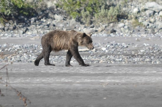 McCarthy River Tours & Outfitters - Day Tours: Bear wandering along the bank