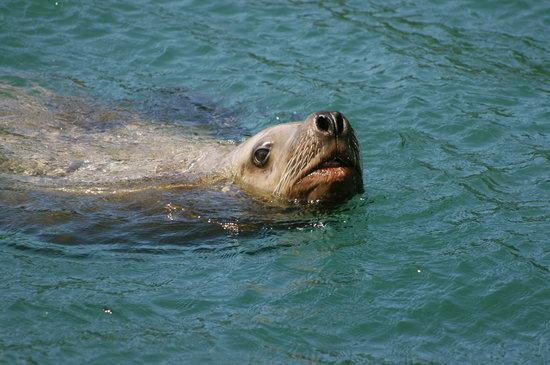 Glacier Bay Sea Kayaks - Day Tours: Sea Lion. Photo: Michael Nigro