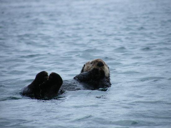Glacier Bay Sea Kayaks - Day Tours: Sea Otter. Photo: BJ Robinson