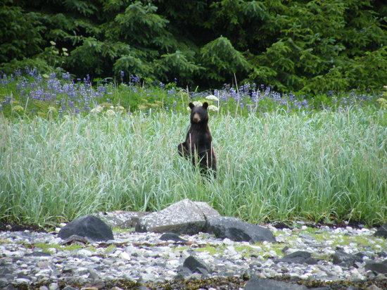 Glacier Bay Sea Kayaks - Day Tours: Black Bear. Photo: BJ Robinson