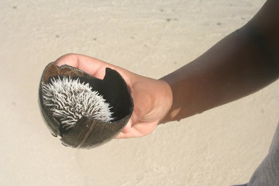 Booby Cay Island: Sea urchins all over